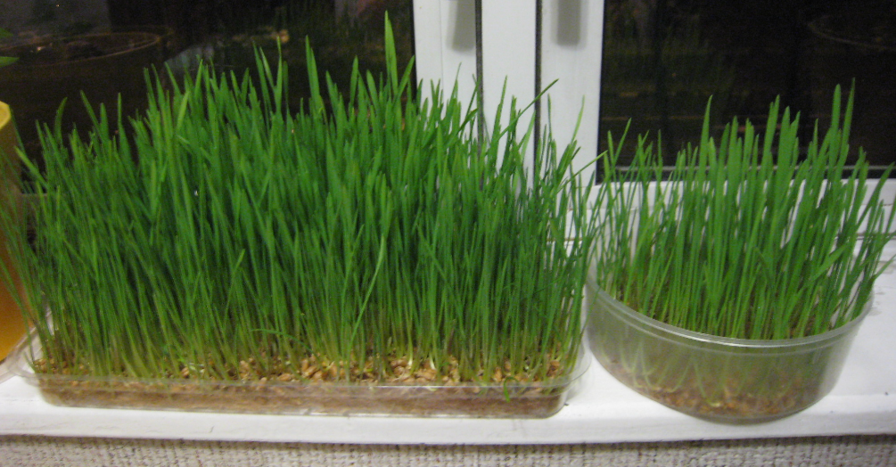 лук зебрун многозачатковый выращивание из семян